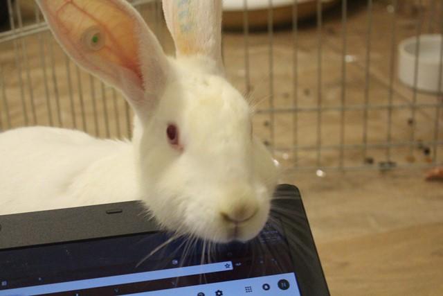 [A PARRAINER] Orphée, lapine réhabilitée de laboratoire Img_4011