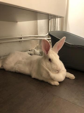 [White Rabbit]Lapins réhabilités de laboratoire à parrainer  Img_4310