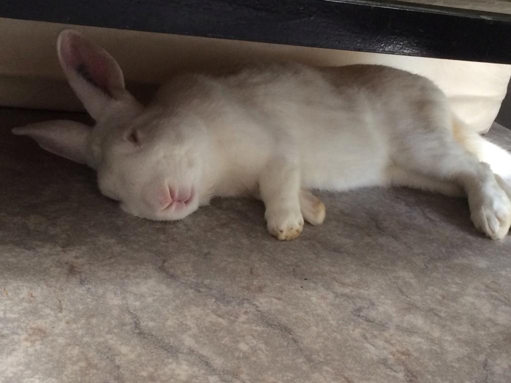 [White Rabbit]Lapins réhabilités de laboratoire à parrainer  Img_5610