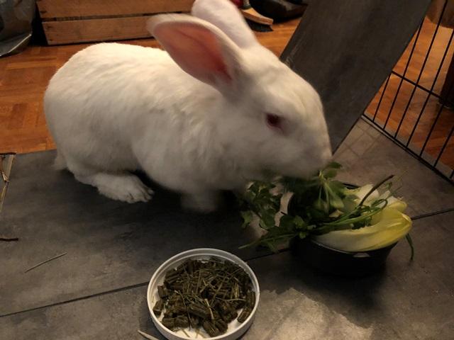[White Rabbit]Lapins réhabilités de laboratoire à parrainer  Img_6310