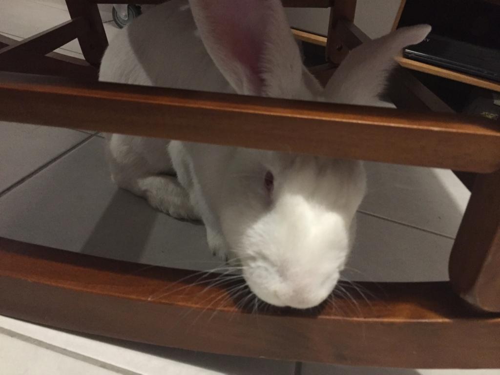 [ADOPTE] Olaf, lapin réhabilité de laboratoire Img_9314