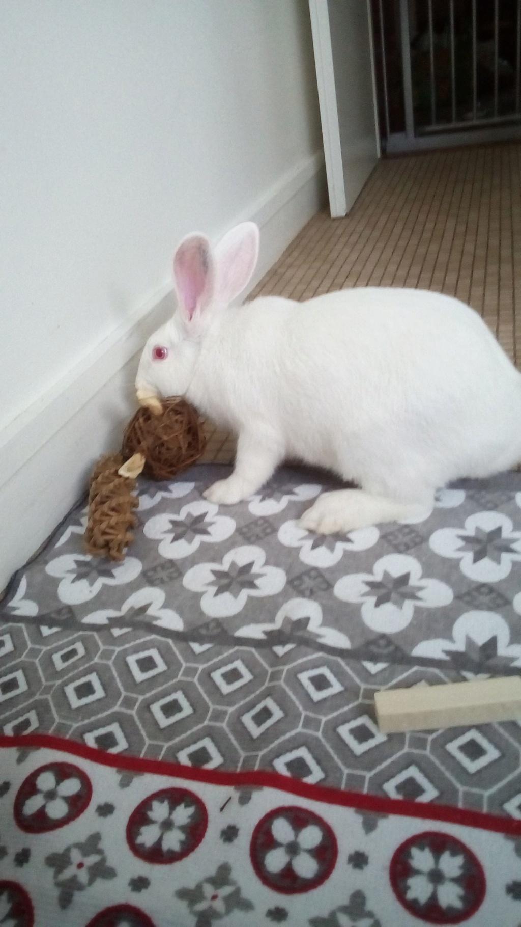[ADOPTEE] Leeloo, lapine réhabilitée de laboratoire Leeloo11