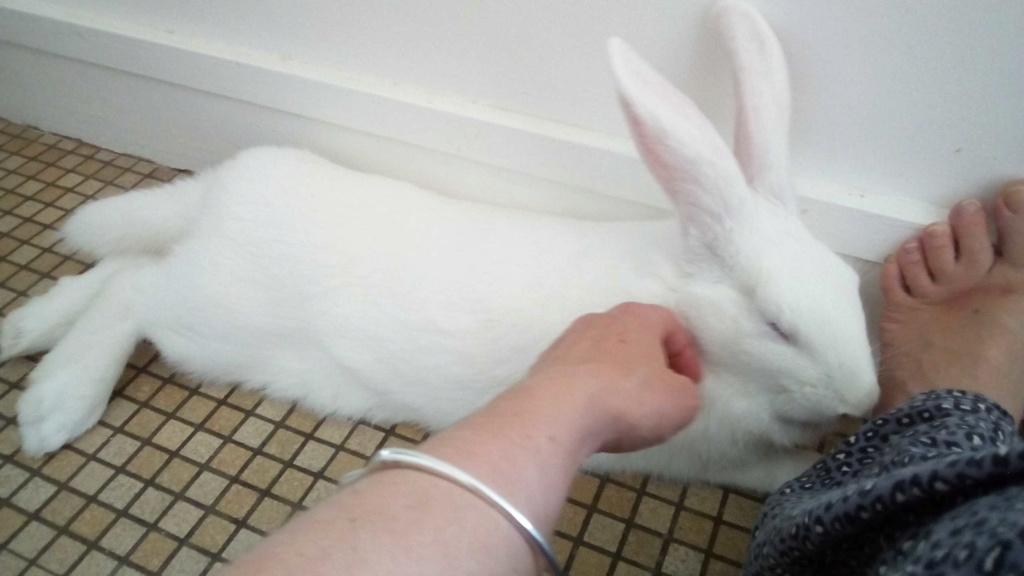 [ADOPTEE] Leeloo, lapine réhabilitée de laboratoire Leeloo12
