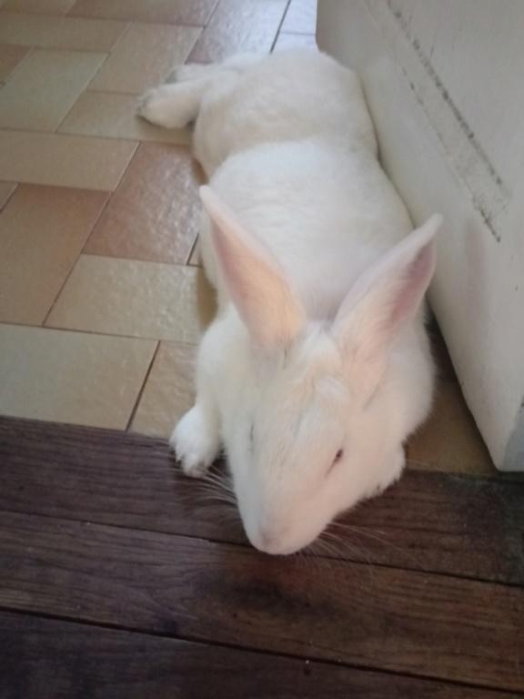 [ADOPTEE] Leeloo, lapine réhabilitée de laboratoire Leeloo13
