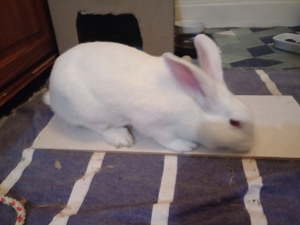 [ADOPTEE] Leeloo, lapine réhabilitée de laboratoire Leeloo14