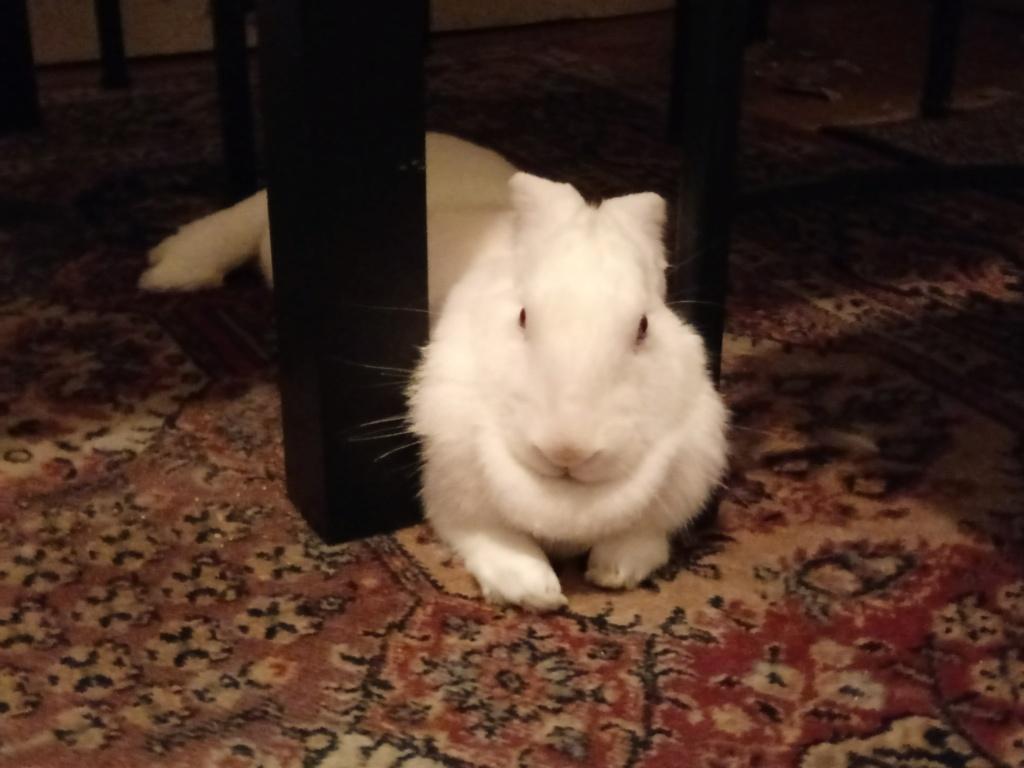 [ADOPTEE] Leeloo, lapine réhabilitée de laboratoire Leeloo15