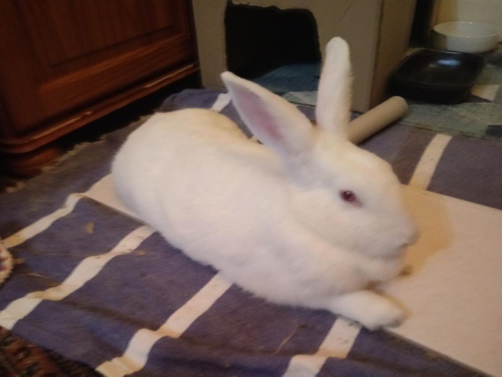 [ADOPTEE] Leeloo, lapine réhabilitée de laboratoire Leeloo16