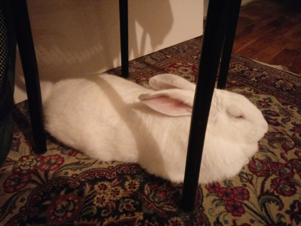 [ADOPTEE] Leeloo, lapine réhabilitée de laboratoire Leeloo17