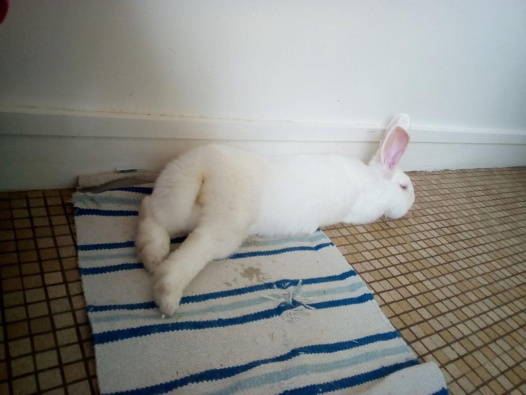 [ADOPTEE] Leïa, lapine réhabilitée de laboratoire Leia10