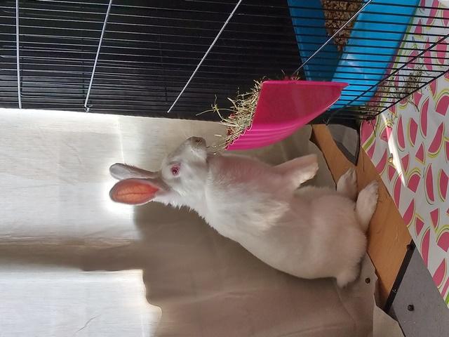 [ADOPTEE] Leïa, lapine réhabilitée de laboratoire Leia_110