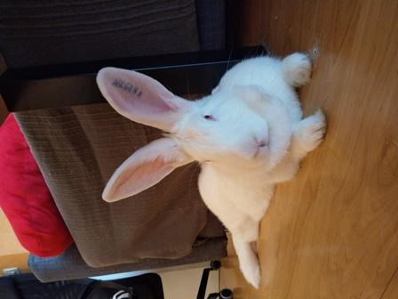 [ADOPTEE] Leïa, lapine réhabilitée de laboratoire Leia_111