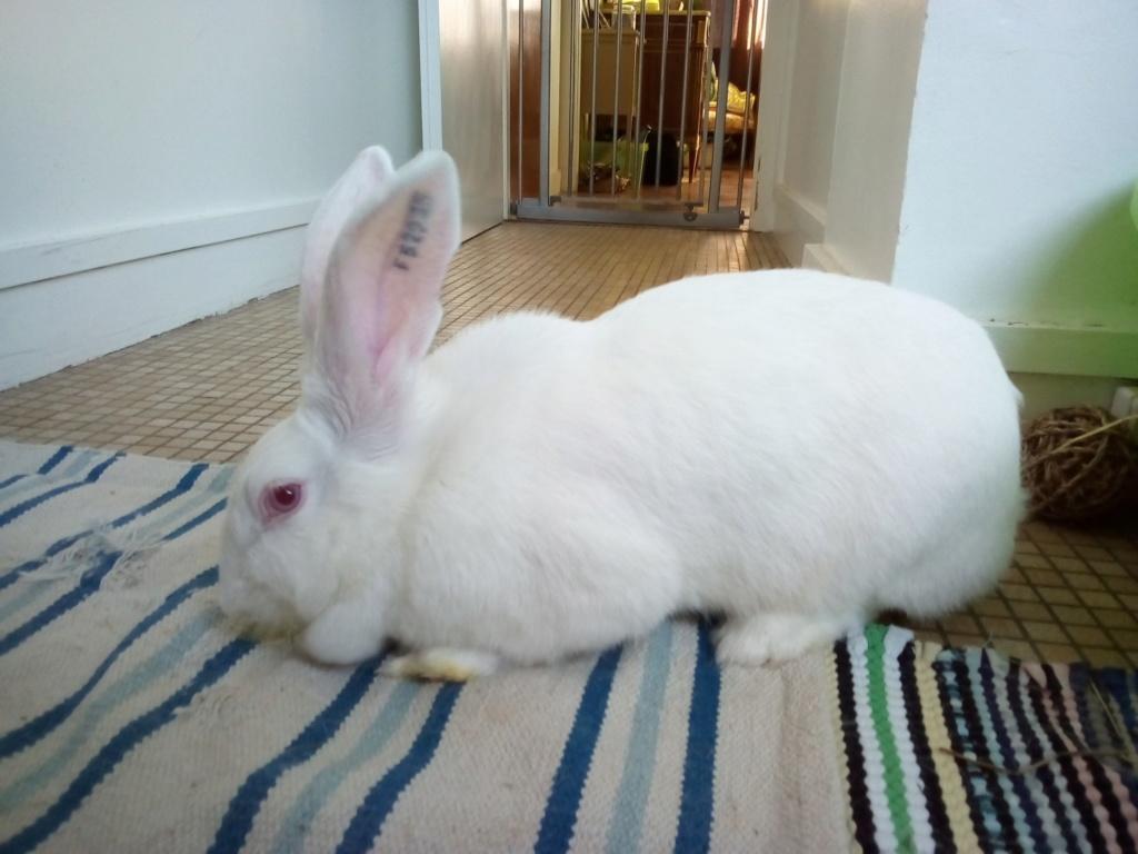 [ADOPTEE] Leïa, lapine réhabilitée de laboratoire Leia_210
