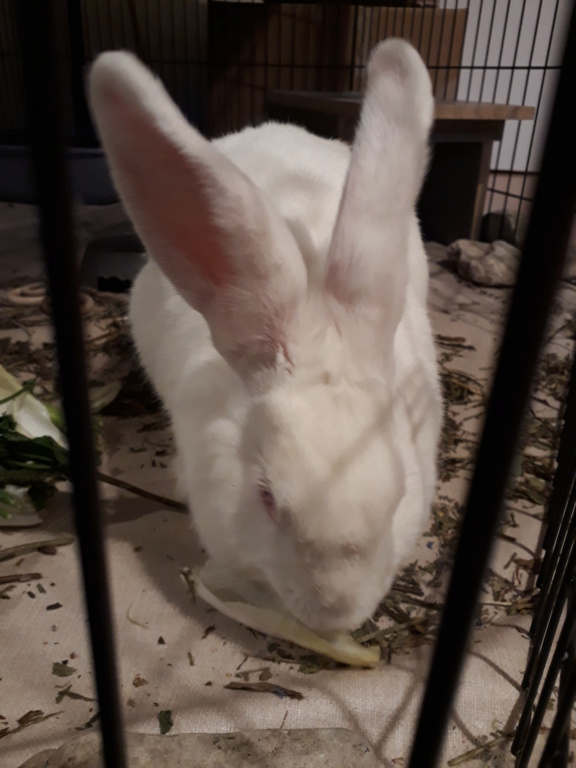 [ADOPTEE] Mara, lapine réhabilitée de laboratoire Mara2013