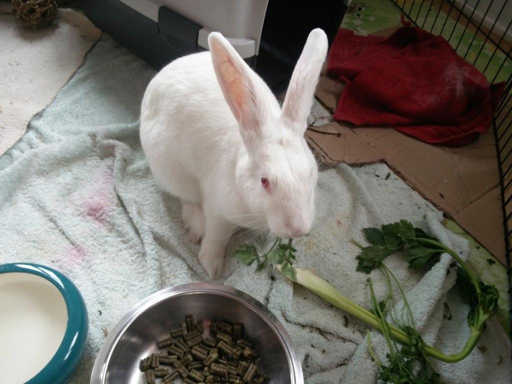 [ADOPTEE] Nori, lapine réhabilitée de laboratoire Nori_213