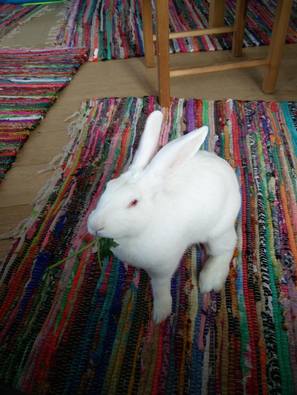 [ADOPTEE] Nori, lapine réhabilitée de laboratoire Nori_215