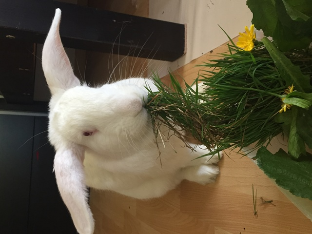 [ADOPTE] Odin, lapin réhabilité de laboratoire Odin_110