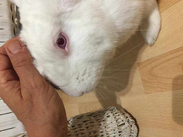 [ADOPTE] Odin, lapin réhabilité de laboratoire Odinim10