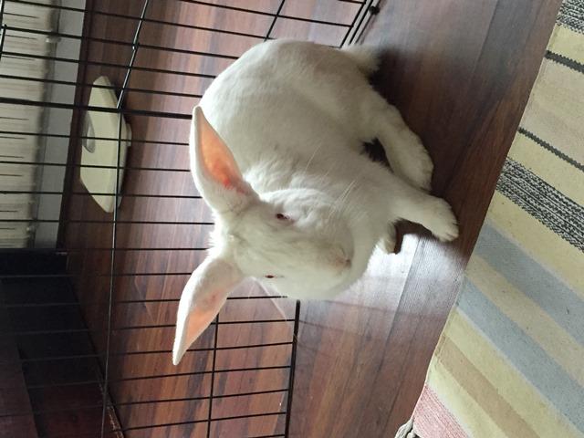 [ADOPTE] Odin, lapin réhabilité de laboratoire Odinim12