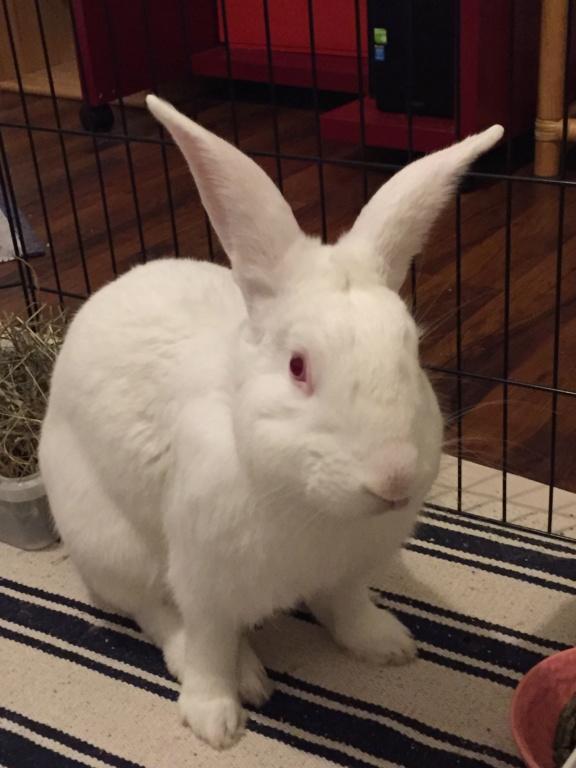 [ADOPTE] Odin, lapin réhabilité de laboratoire Odinim13