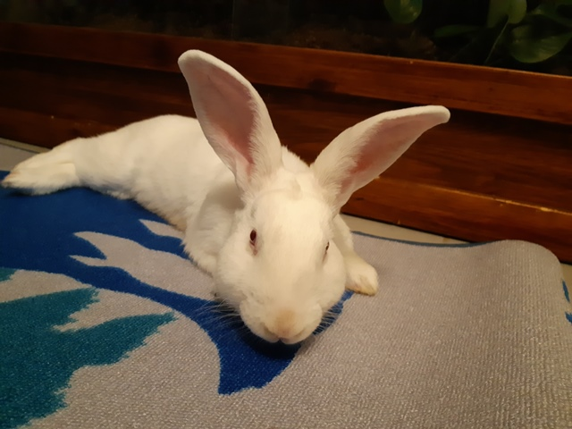 [ADOPTE] Olaf, lapin réhabilité de laboratoire Olaf2014