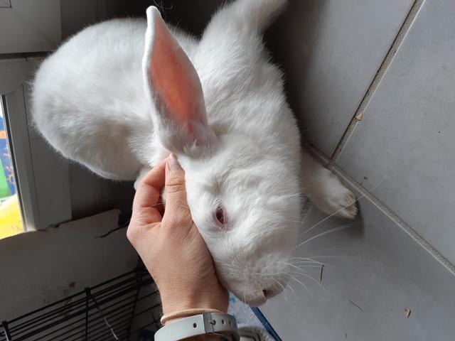 [ADOPTE] Olaf, lapin réhabilité de laboratoire Olaf2015