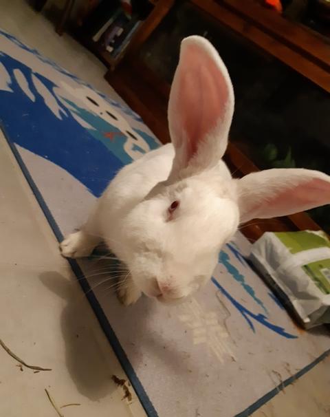 [ADOPTE] Olaf, lapin réhabilité de laboratoire Olaf2016