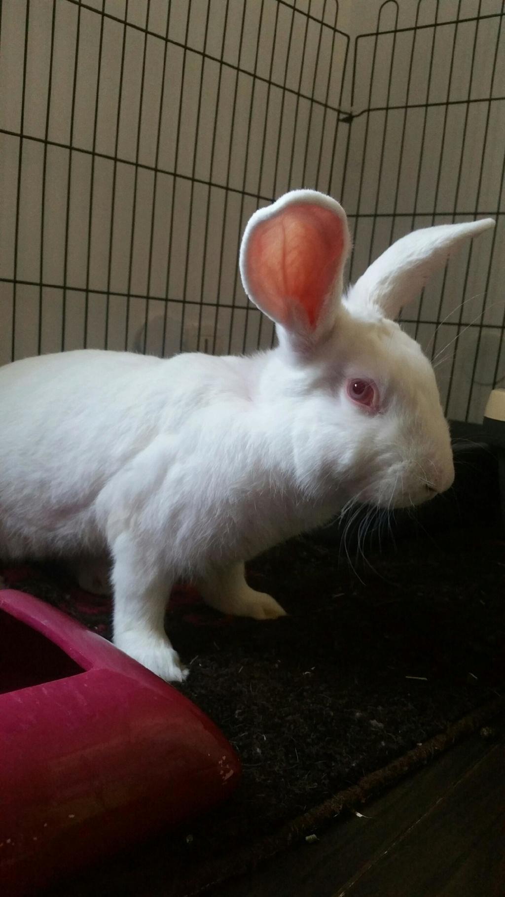 [ADOPTE] Olaf, lapin réhabilité de laboratoire Olaf_111