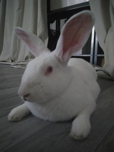 [ADOPTEE] Ondine, lapine réhabilitée de laboratoire Ondine10