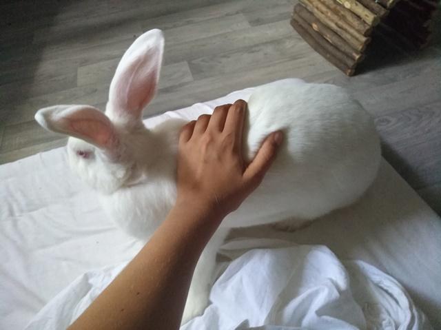 [ADOPTEE] Ondine, lapine réhabilitée de laboratoire Ondine11
