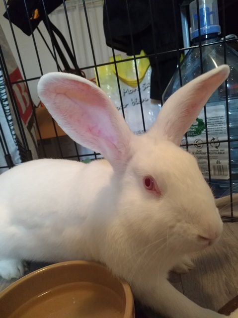 [ADOPTEE] Ondine, lapine réhabilitée de laboratoire Ondine12
