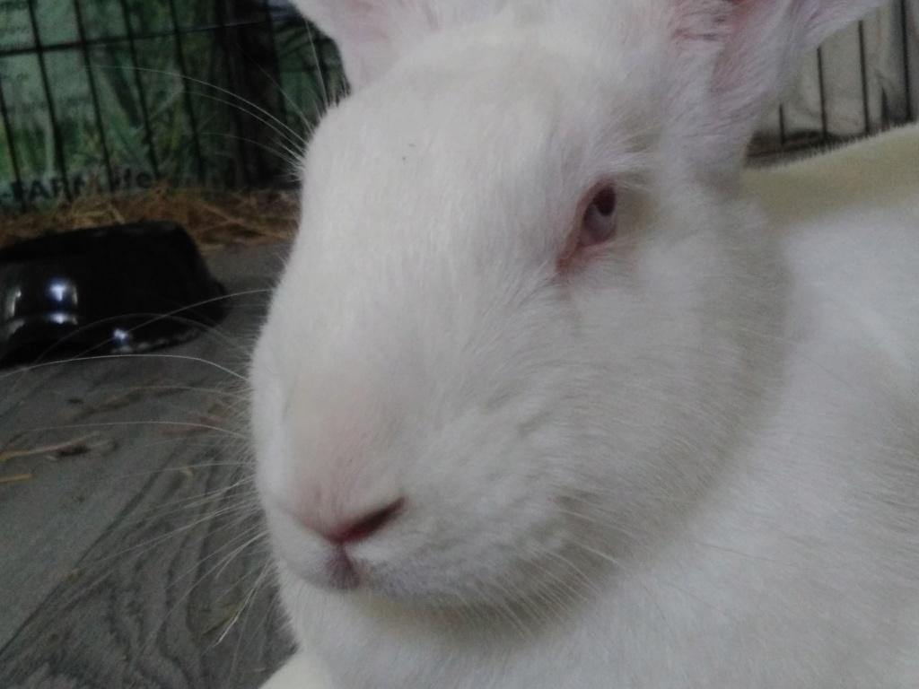 [ADOPTEE] Ondine, lapine réhabilitée de laboratoire Ondine13