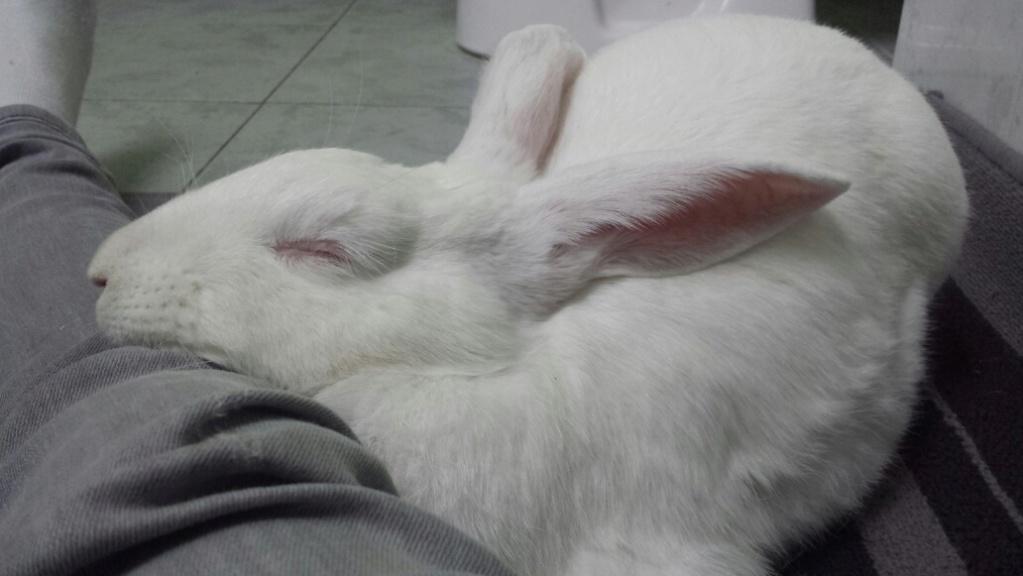 [ADOPTEE] Opale, lapine réhabilitée de laboratoire Opale_12