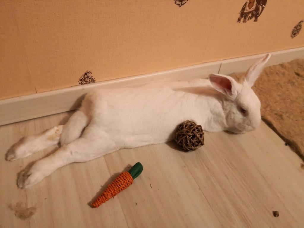 [ADOPTE] Oreo, lapin réhabilité de laboratoire Oreoim10