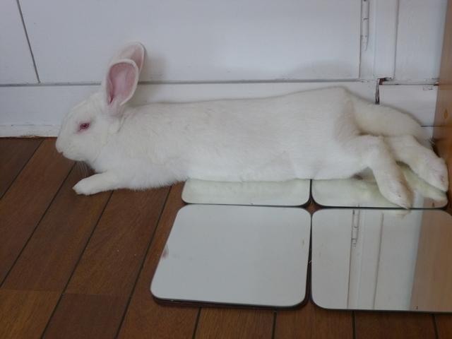 [ADOPTE] Oslo, lapin réhabilité de laboratoire Oslob10