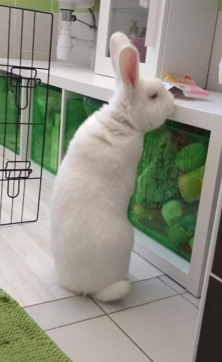 [White Rabbit]Lapins réhabilités de laboratoire à parrainer  Part0013