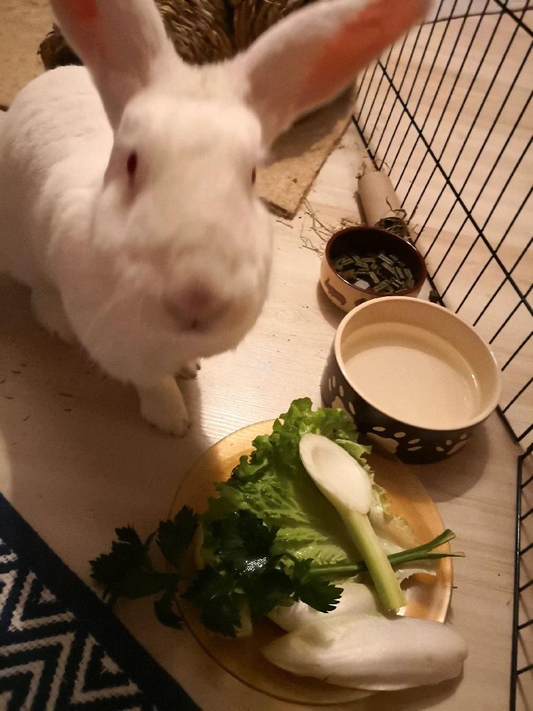 [ADOPTE] Oreo, lapin réhabilité de laboratoire Part_110