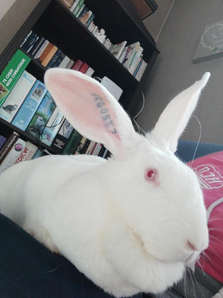 [White Rabbit]Lapins réhabilités de laboratoire à parrainer  Part_115