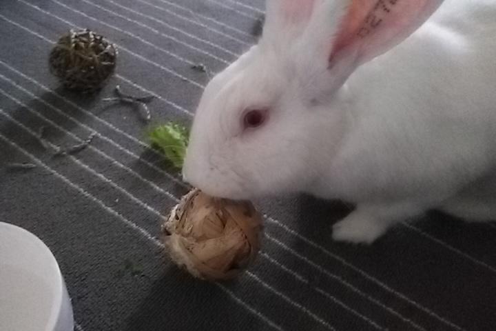 [ADOPTE] Dexter, lapin réhabilité de laboratoire Partag10