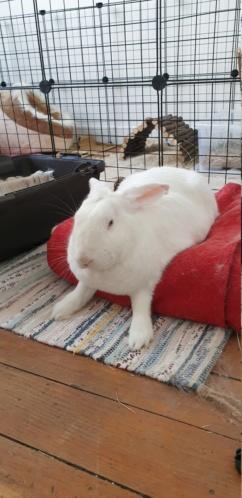 [ADOPTE] Pogba, lapin réhabilité de laboratoire Pogba211