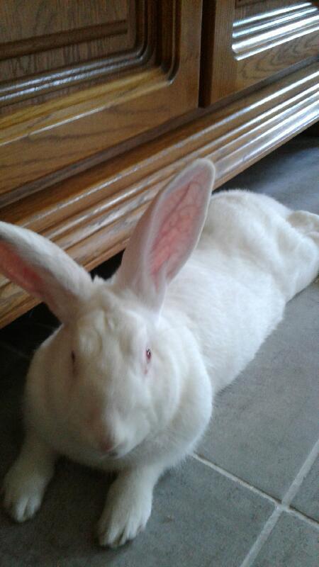 [A PARRAINER] Pollux, lapin réhabilité de laboratoire Pollux12