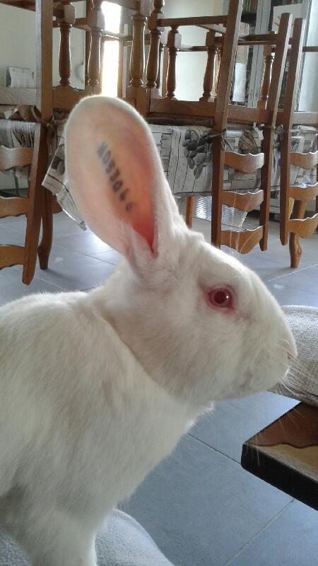 [A PARRAINER] Pollux, lapin réhabilité de laboratoire Pollux13