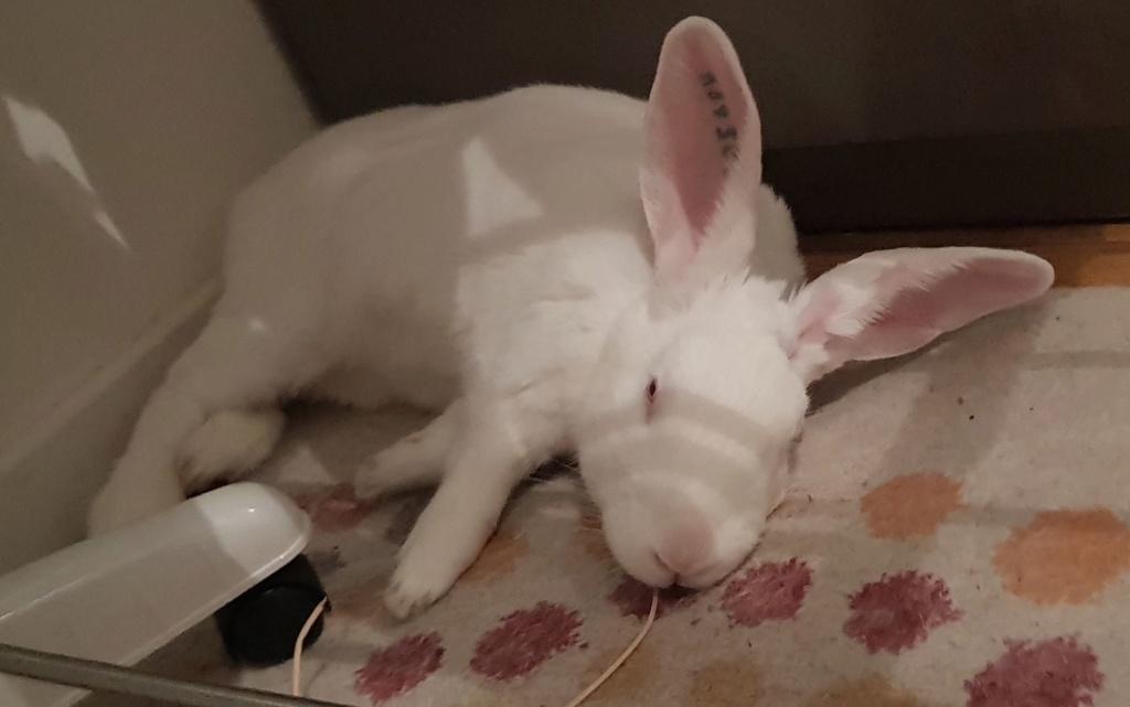 [A PARRAINER] Kamo, lapin réhabilité de laboratoire Resize10