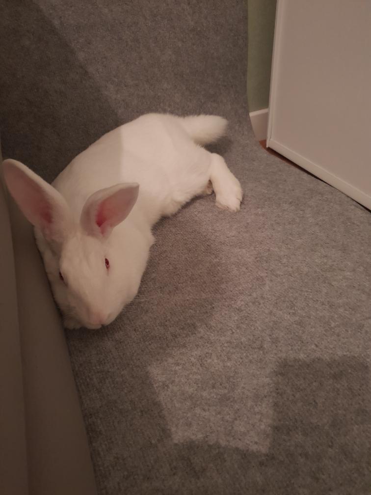 [A PARRAINER] Topaze, lapine réhabilitée de laboratoire Resize13