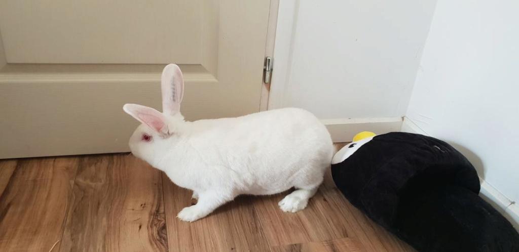 [ADOPTE] Popi, lapin réhabilité de laboratoire Resize17