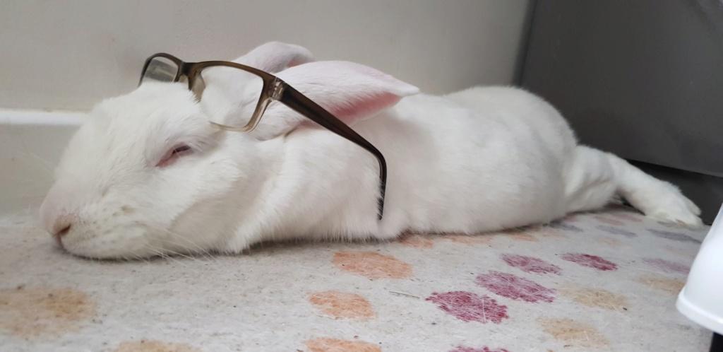 [A PARRAINER] Kamo, lapin réhabilité de laboratoire Resize19