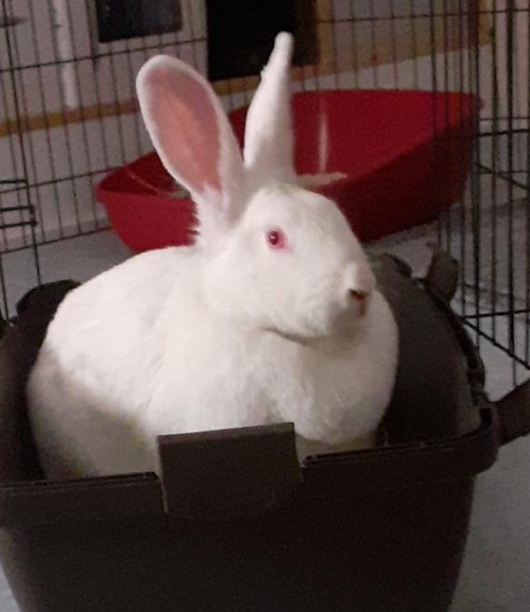 [White Rabbit]Lapins réhabilités de laboratoire à parrainer  Resize21