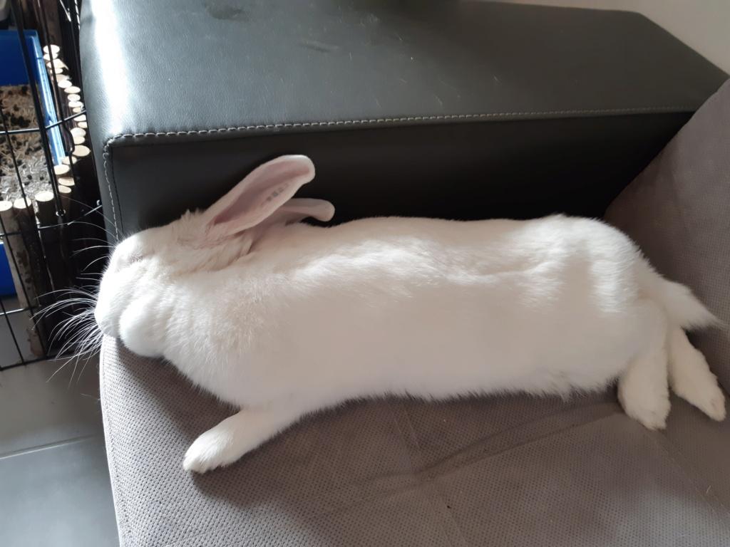 [ADOPTEE] Romy, lapine réhabilitée de laboratoire Romy2012