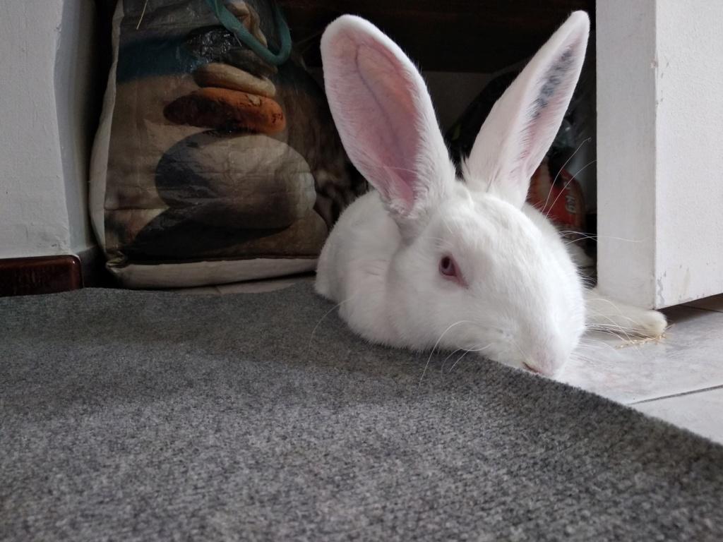 [ADOPTEE] Romy, lapine réhabilitée de laboratoire Romy4910