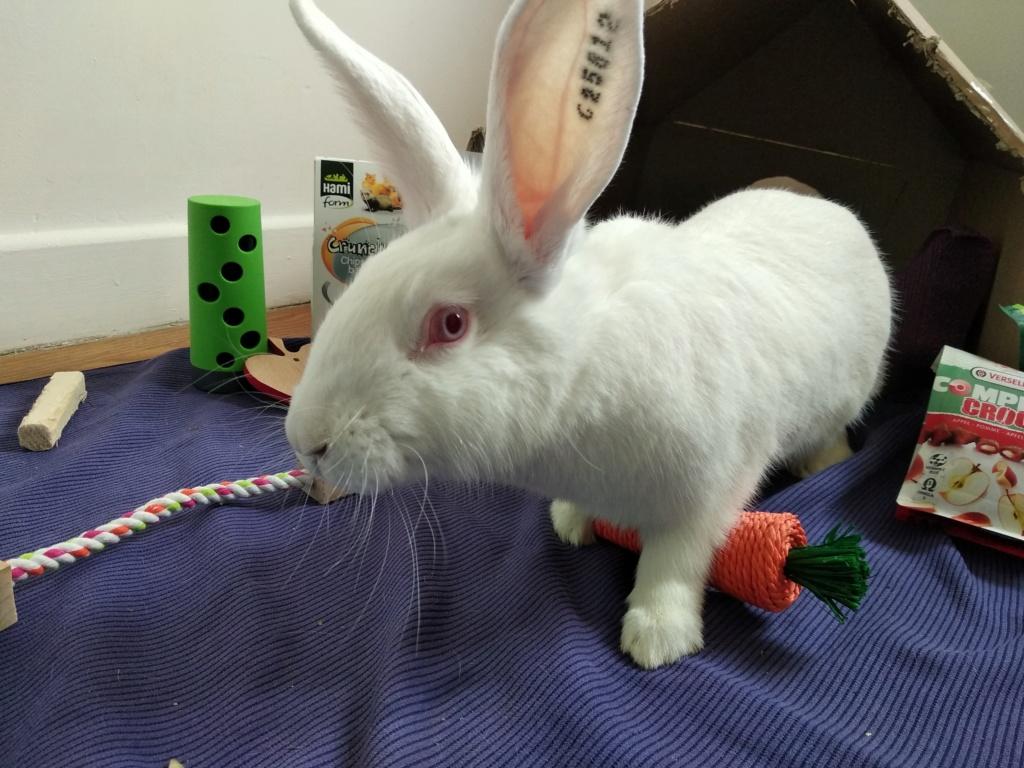 [ADOPTEE] Romy, lapine réhabilitée de laboratoire Romy_110