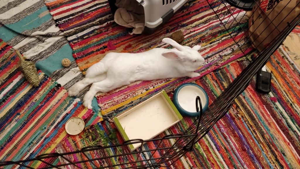 [ADOPTEE] Nori, lapine réhabilitée de laboratoire Signal10